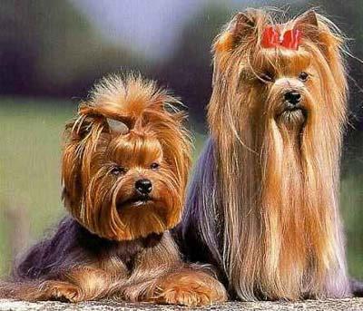 langhåret terrier